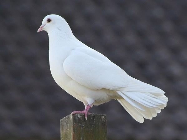 Mơ thấy chim bồ câu là điềm báo điều gì?