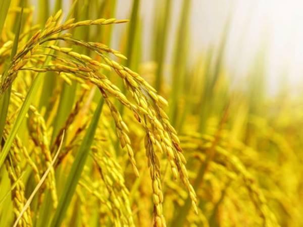 Mơ thấy lúa chín là điềm hung hay cát? Đánh con gì ăn to?